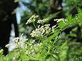 20150625Chaerophyllum bulbosum1.jpg