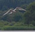 2016.07.17.-26-Westensee--Flussseeschwalbe im Flug.jpg