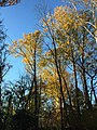 2017-11-10 15 51 35 Tulip Trees during late autumn within Hosepen Run Stream Valley Park in Oak Hill, Fairfax County, Virginia.jpg