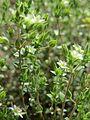 20170424Arenaria serpyllifolia11.jpg