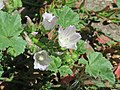 20170806Malva neglecta1.jpg