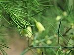 20170819Asparagus officinalis2.jpg