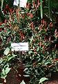 20171014 - Capsicum frutescens L. 'Piri Piri'.jpg