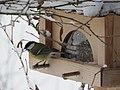2018-01-21 (104) Parus major (great tit) on a bird table im Haltgraben, Frankenfels.jpg