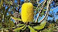 2018-01-31 171327 Banksia Attenuata, Nambung National Park, West Australia anagoria.jpg