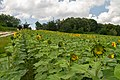 2018-07-15 Sunflowers at Museum of Folk Architecture and Ethnography in Pyrohiv, Kyiv, Ukraine 2.jpg