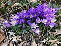 2020-02-23 13 35 00 A cluster of Crocus tommasinianus flower along Terrace Boulevard in the Parkway Village section of Ewing Township, Mercer County, New Jersey.jpg
