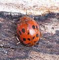 24-Spot Ladybird (16644327284).jpg