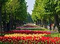 35-101-5005 Tulips Dendropark Kropyvnytsky DSC 4813.jpg