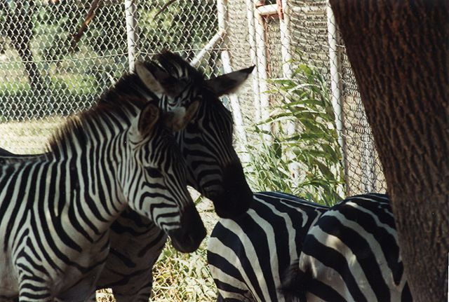 Plik:4 zebras, réserve africaine de Sigean.jpg