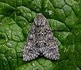 73.046 BF2278 Poplar Grey, Subacronicta megacephala (3127982734).jpg