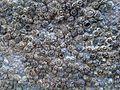 83Semibalanus balanoides.jpg
