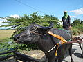 9221Carabao drawn vehicles Ecija Philippinesfvf 08.JPG