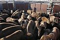 9 of 35 Bison are allowed to spread out after they are first caught in the sorting corral 3165 (16385137360).jpg