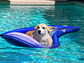A-Corgie-floating-along (2509104391).jpg