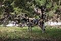 AFRICAN WILD DOG (13969818383).jpg