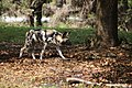 AFRICAN WILD DOG (14027022373).jpg