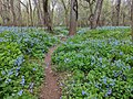 A Path through the Virginia Bluebells.jpg