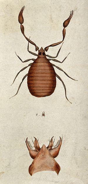 Pseudoscorpion - A coloured etching of a pseudoscorpion