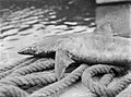 A caught shark laid over ropes (AM 75645-1).jpg