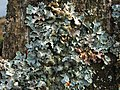 A lichen - Parmelia sulcata - geograph.org.uk - 1184066.jpg