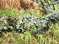 A lichen - Platismatia glauca - geograph.org.uk - 1018721.jpg