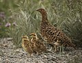A ptarmigan and its chicks wait on the side of the park road on June 30, 2019. (f85f8b69-7a20-4e67-8e7d-486cced8c495).JPG