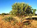 Acacia colei habit.jpg