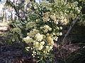 Acacia linifolia 1.jpg