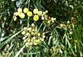 Acacia retinodes - Jardín Botánico de Barcelona - Barcelona, Spain - DSC08953.JPG