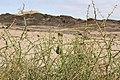 Acanthosicyos horridus - Nara-1570 - Flickr - Ragnhild & Neil Crawford.jpg