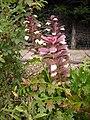 Acanthus mollis in the garden.jpg