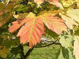 Acer heidrechii ssp heidrechii R0019775