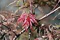 Acer palmatum var. dissectum Garnet 1zz.jpg