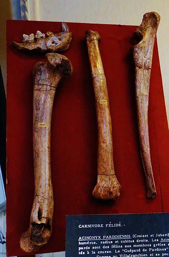 Acinonyx pardinensis - Fossils