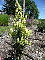 Aconitum anthora 04 by Line1.jpg