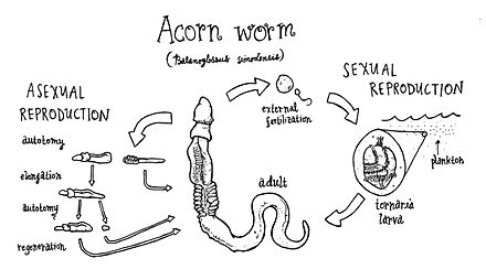 Worms asexual reproduction