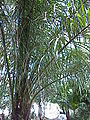 Acrocomia mexicana0.jpg