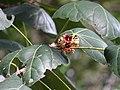 Acropogon bullatus, domaine de Deva.jpg