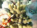 Acropora humilis, coralitos.jpg