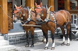 Freiberger Paard Wikipedia
