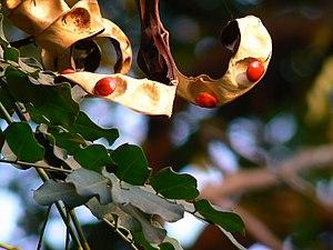 Adenanthera pavonina - Image: Adenanthera pavonina 1