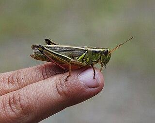 <i>Melanoplus bivittatus</i> Species of grasshopper