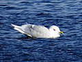 Adult Larus glaucoides, Swallow Pond 5.jpg