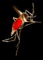 Aedes aegypti CDC9187.tif
