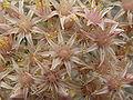 Aeonium lancerottense PICT0668.jpg