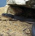 African House Snake 001.jpg