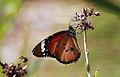 African Monarch Butterfly, Danaus chrysippus (8419594624).jpg
