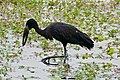 African Openbill (Anastomus lamelligerus) (33336075021).jpg