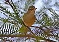 African Reed Warbler (Acrocephalus baeticatus) (8077249754).jpg